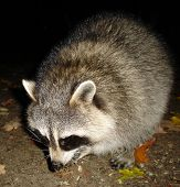 Extremely Fat Racoon