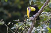 foto of toucan  - Chestnut - JPG