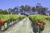 West-Australië wijngaard