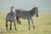 Adult Common Zebra's Fighting, Ngorongoro Crater, Tanzania