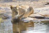 Lioness Drinking (panthera Leo), Botswana