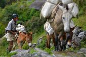 Caravan of donkeys carrying food supplies in the Himalayas