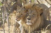 Male And Female African Lion, South Africa