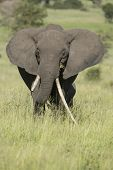 Female African Elephant With Long Tusk (loxodonta Africana)