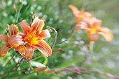 Hemerocalli Flower
