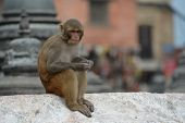 Monkey, Rhesus macaque at Swayambhunath temple. Nepal