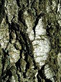 Bark Of White Poplar poster
