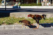 Brown Roosters Eating