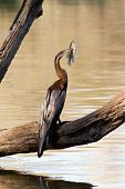 African Darter With Tilapia Catch
