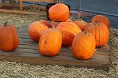 scattered big yellow pumpkins in country