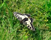 Butterfly (machaon) In A Grass