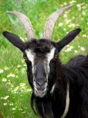 Goat (head)