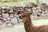 Peruvian Alpaca. Farm Of Llama,alpaca,vicuna In Peru,south America. Andean Animal.alpaca Is South Am