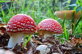 Fly Agaric Mushrooms In A Row
