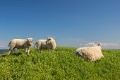 Sheep with lambs at the Dutch dyke at Texel