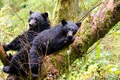 Black bear sow and cub sleeping in a tree, British Columbia, Canada