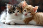 stock photo of orange kitten  - These cuddly kittens prove a good friend can help you get through almost anything