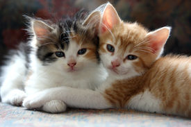 stock photo of spayed  - These cuddly kittens prove a good friend can help you get through almost anything  - JPG