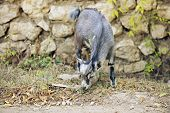 stock photo of nibbling  - An adorable baby goat nibbling on grass near a stone wall - JPG