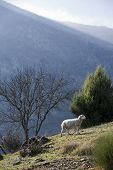 Sheep in montain near the sierra sur of Jaen