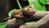 stock photo of gekko  - A Leaf Gecko - JPG