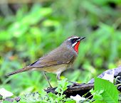 Siberian Rubythroat (luscinia Sibilans) A Bird With Red Throat