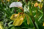Wild Orchids, Ground Orchids, Cypripedium Villosum, From Doi Intanon National Park, Thailand,