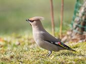 Bohemian Waxwing On Grass Looking For Food