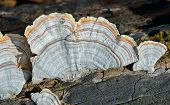 Mushrooms (bracket-fungus)