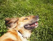 a happy dachshund on fresh grass