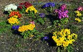 Mixed primulas