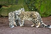 picture of panthera uncia  - a portrait of two snow leopard together - JPG