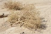 stock photo of arid  - Dried out dead plants lying in a dry arid desert environment - JPG