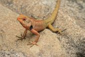 foto of lizards  - brown Lizard - JPG