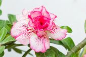 picture of desert-rose  - Desert rose or impala lily flower against white background - JPG