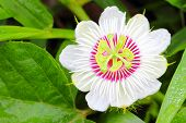 stock photo of climber plant  - close up of a passion flower in the garden - JPG