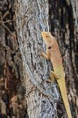 stock photo of lizards  - Blue lizard - JPG