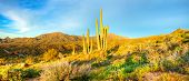 stock photo of ocotillo  - Saguaros catching days first sunrays in Sonoran Desert - JPG