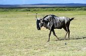 picture of wildebeest  - African Wildebeest in Amboseli National Park  - JPG