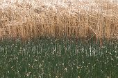 picture of marsh grass  - Tule and reed grass or sedge at the edge of the Summer Lake marsh area in southern central Oregon - JPG