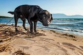 Black Labrador Looks Puzzled At The Beach By The Sea.
