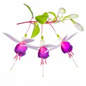 Blossoming Beautiful Fantastic (collage) Colorful Fuchsia Flower Isolated On White Background, `la C