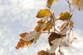 Yellow Leaves On Snow Background