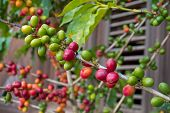 Branch Of Coffee Plant With Berry Various Color, Wooden Jalousie Background, Dominican Republic