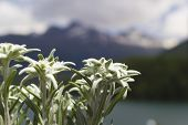 picture of edelweiss  - Edelweiss flower with mountain Alps in Background - JPG