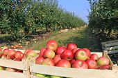 foto of orchard  - Cart full of apples after picking in orchard - JPG