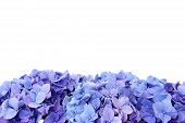 foto of hydrangea  - Beautiful blue hydrangea flower - JPG