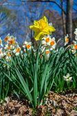 Yellow Daffodil Against White Daffodils Vertical