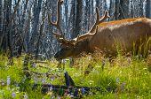 Beautiful Elk Yellowstone National Park