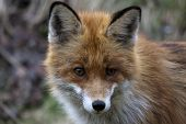stock photo of european  - a close up of the head of a european red fox - JPG